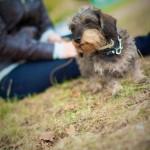 La promenade et l'éducation de votre teckel au Bois de Vincennes