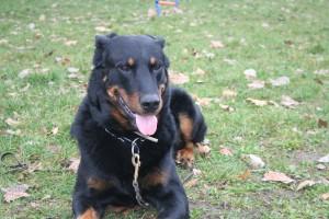 Tarif et prix du dressage chien | Acte-chien.com