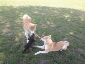 jeux entre chien pendant un cours dans le Bois de Vincennes